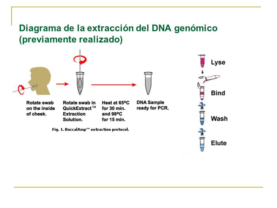 Procedimiento para extracción del DNA genómico (previamente realizado) Se realizó un frotis bucal El contenido del hisopo swab se resuspende en 1000 ul de NaCl 0.9% Centrifugar por 5 minutos a 7K Descarta sobrenadante Resuspender el precipitado pellet en 500ul de chelex al 10% Incubar a 100˚C por 20 minutos Centrifugar por 5 minutos a 7K Tomar el sobrenadante ( DNA en solución) Dejar la muestra a -20 grados hasta cuando se va a trabajar con ella Nota: El chelex actúa como agente desestabilizador de membranas y quelante.