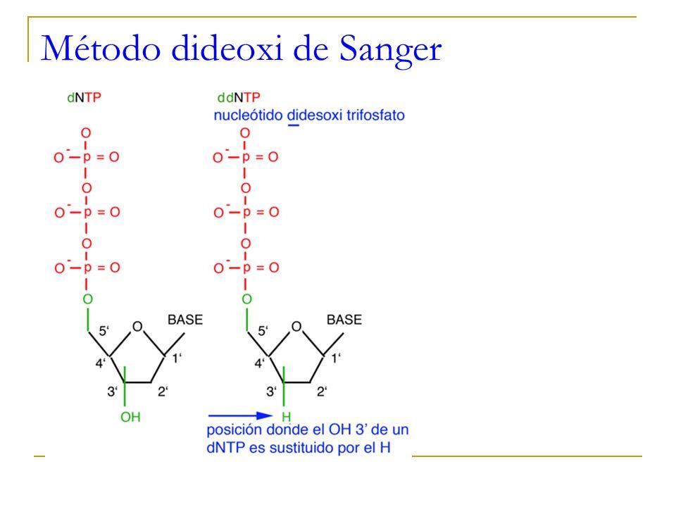 Secuenciación de DNA Método enzimático de terminación de cadena (método dideoxi de Sanger) Polimerización interrumpida de ADN Se lleva a cado polimerización de ADN en presencia de derivados dideoxi que detienen la polimerización en diferente momento, obteniéndose fragmentos de diferente tamaño.