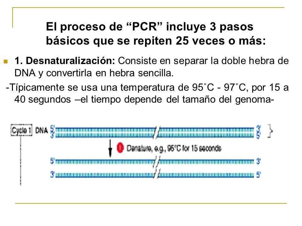 Análisis de la Muestra La posterior visualización se puede realizar con bromuro de etidio (lámpara de luz UV), tinción de plata, fluorescencia, radioactividadluz Ladder: pesos conocidos 1: Fragmento a 1857 pb 2 y 4: Fragmento a 800 pb 3: No hay producto 5: Multiples bandas (primers inespecíficos se pegan a varios sitios)
