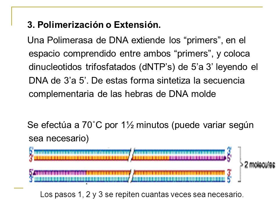 2. Apareamiento o anneling: Los cebadores primers previamente diseñados, reaccionan con la hebra sencilla de DNA y se pegan en lugares específicos por