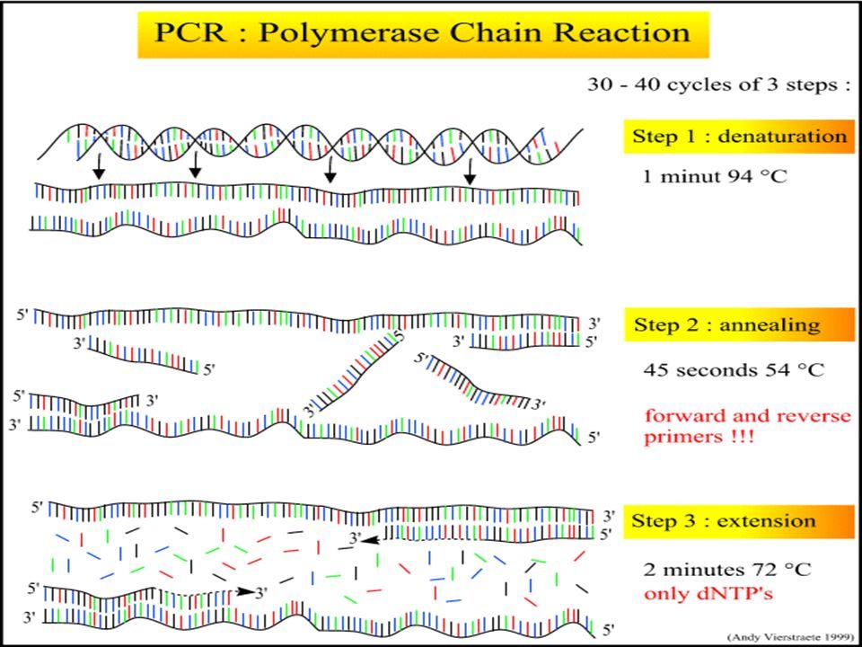3. Polimerización o Extensión. Una Polimerasa de DNA extiende los primers, en el espacio comprendido entre ambos primers, y coloca dinucleotidos trifo
