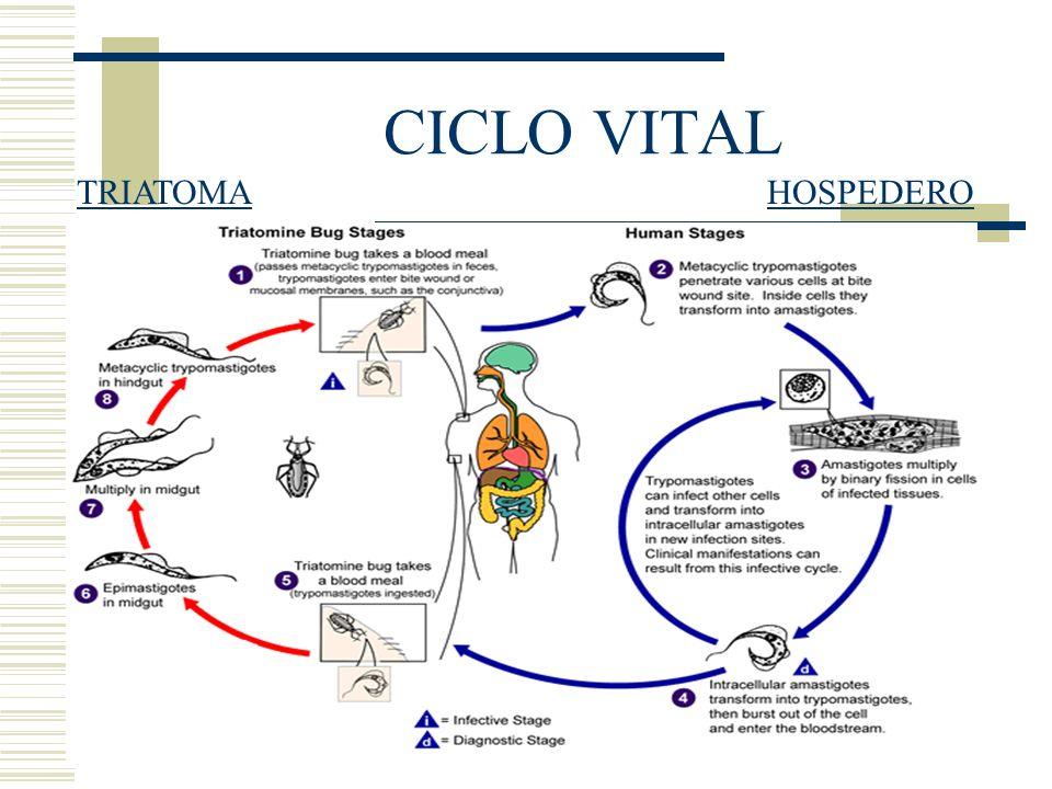 CICLO VITAL TRIATOMAHOSPEDERO