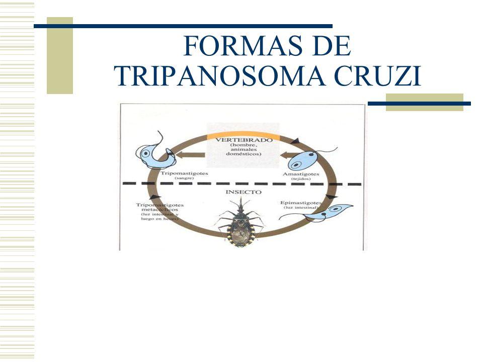 FORMAS DE TRIPANOSOMA CRUZI