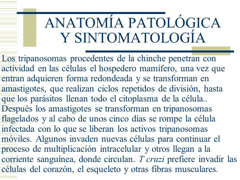 ANATOMÍA PATOLÓGICA Y SINTOMATOLOGÍA Los tripanosomas procedentes de la chinche penetran con actividad en las células el hospedero mamífero, una vez que entran adquieren forma redondeada y se transforman en amastigotes, que realizan ciclos repetidos de división, hasta que los parásitos llenan todo el citoplasma de la célula..