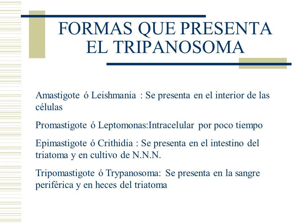 FORMAS QUE PRESENTA EL TRIPANOSOMA Amastigote ó Leishmania : Se presenta en el interior de las células Promastigote ó Leptomonas:Intracelular por poco tiempo Epimastigote ó Crithidia : Se presenta en el intestino del triatoma y en cultivo de N.N.N.