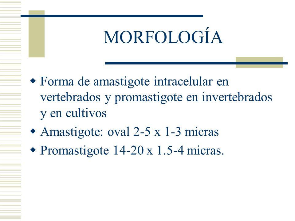 MORFOLOGÍA Forma de amastigote intracelular en vertebrados y promastigote en invertebrados y en cultivos Amastigote: oval 2-5 x 1-3 micras Promastigote 14-20 x 1.5-4 micras.