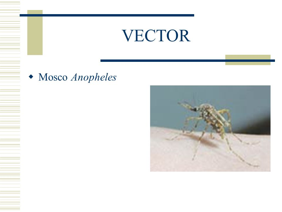 VECTOR Mosco Anopheles