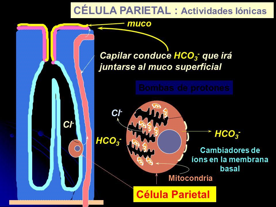 muco Capilar conduce HCO 3 - que irá juntarse al muco superficial HCO 3 - H+H+ Cl - Célula Parietal H+H+ Cl - HCO 3 - Bombas de protones Cambiadores d
