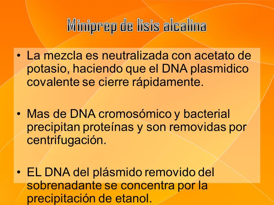 La mezcla es neutralizada con acetato de potasio, haciendo que el DNA plasmidico covalente se cierre rápidamente. Mas de DNA cromosómico y bacterial p