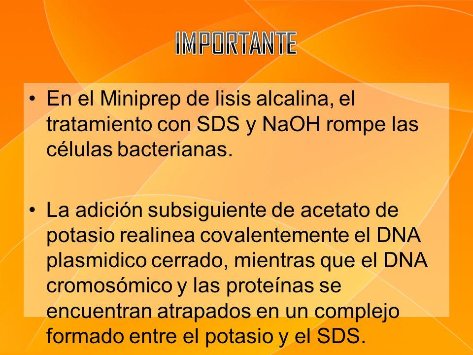 En el Miniprep de lisis alcalina, el tratamiento con SDS y NaOH rompe las células bacterianas. La adición subsiguiente de acetato de potasio realinea