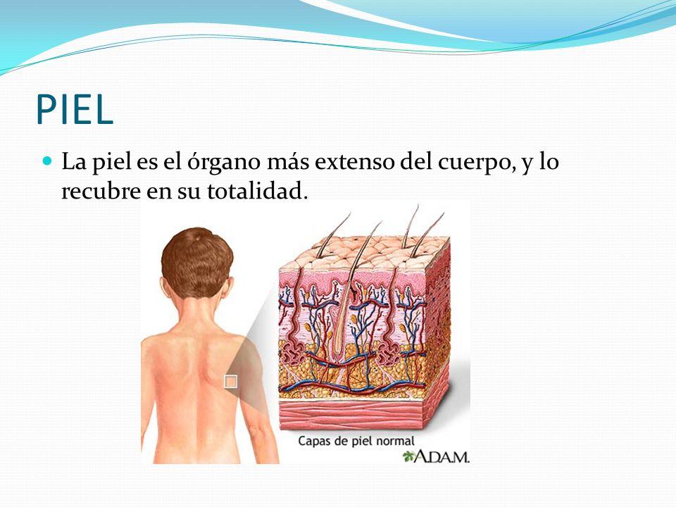 PIEL La piel es el órgano más extenso del cuerpo, y lo recubre en su totalidad.
