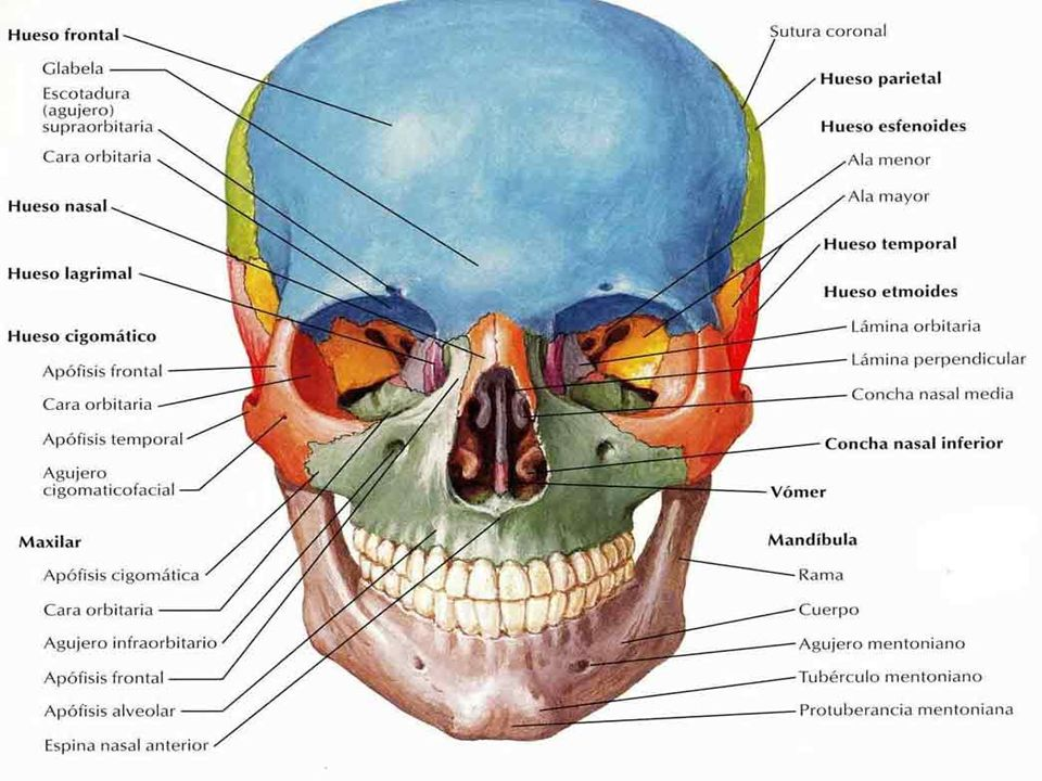 Anatomía del Ojo Estructuras del ojo: Pupila: abertura por donde llega la luz Iris: músculo que controla el tamaño de la pupila Córnea: superficie externa, sin vasos sanguíneos, alimentada por el humor acuoso