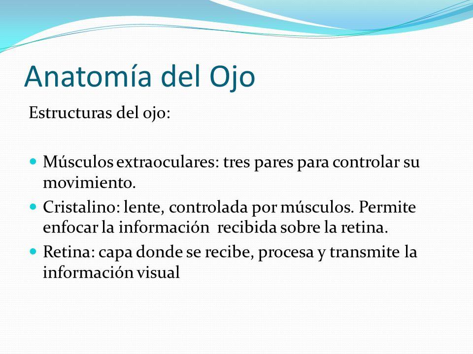 Anatomía del Ojo Estructuras del ojo: Músculos extraoculares: tres pares para controlar su movimiento. Cristalino: lente, controlada por músculos. Per
