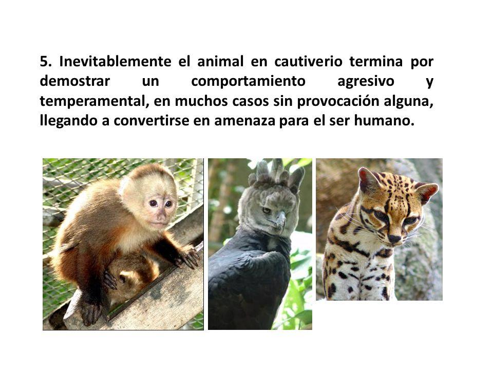 5. Inevitablemente el animal en cautiverio termina por demostrar un comportamiento agresivo y temperamental, en muchos casos sin provocación alguna, l