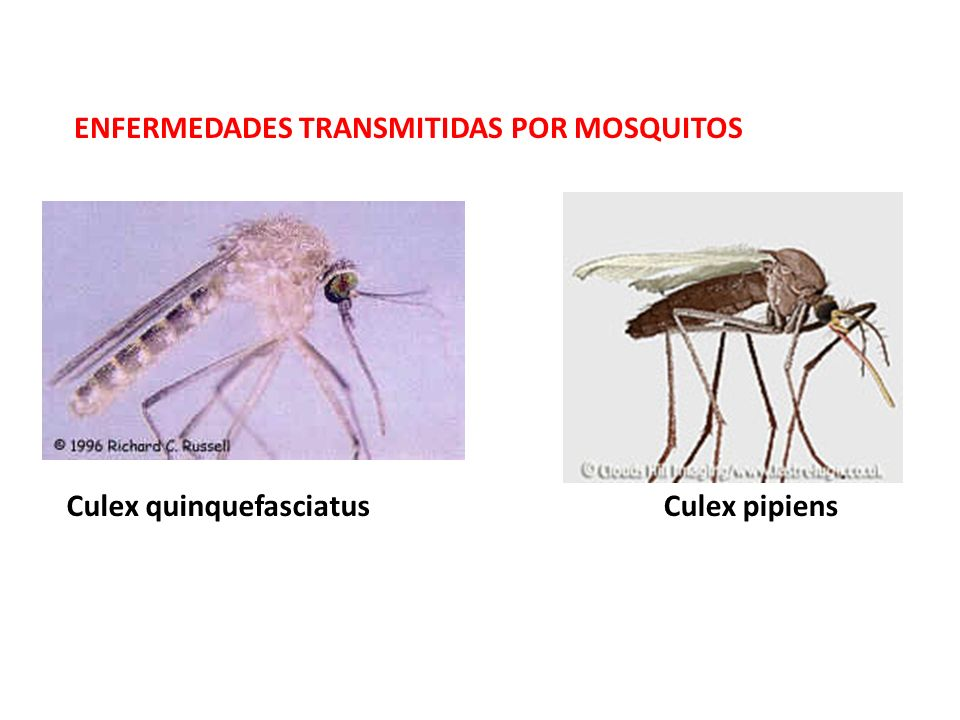 ENCEFALITIS VIRALES Amplio grupo de enfermedades virales encefalitis de San Luís encefalitis equina del este y del oeste encefalitis equina venezolana encefalitis del Nilo occidental transmitidas por varios mosquitos, sobre todo del género Culex (C.