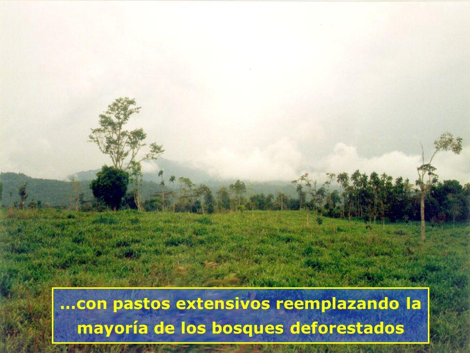 …con pastos extensivos reemplazando la mayoría de los bosques deforestados