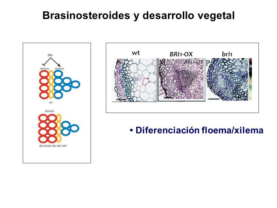 Brasinosteroides y desarrollo vegetal Diferenciación floema/xilema wt BRI1-OXbri1