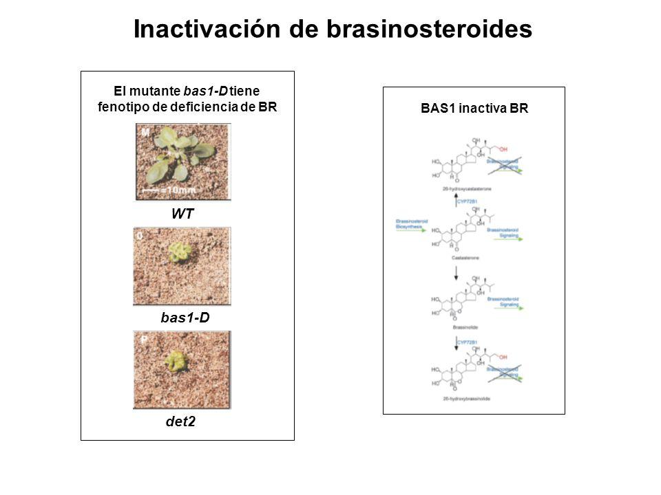 Inactivación de brasinosteroides WT bas1-D det2 El mutante bas1-D tiene fenotipo de deficiencia de BR BAS1 inactiva BR