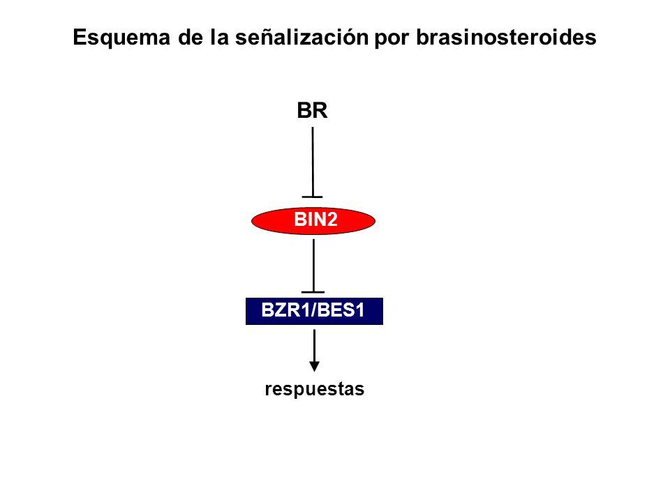 Esquema de la señalización por brasinosteroides BR BZR1/BES1 BIN2 respuestas