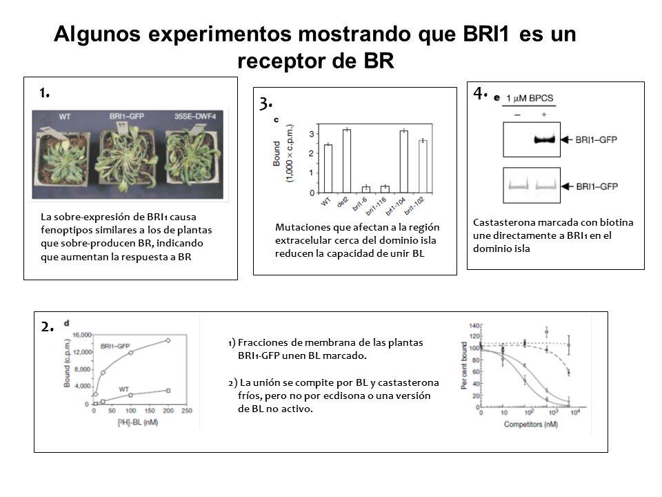 Algunos experimentos mostrando que BRI1 es un receptor de BR La sobre-expresión de BRI1 causa fenoptipos similares a los de plantas que sobre-producen