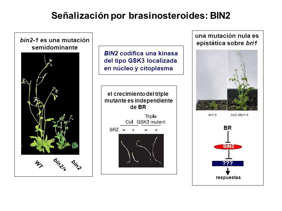 Señalización por brasinosteroides: BIN2 WT bin2/+ bin2 bin2-1 es una mutación semidominante BIN2 codifica una kinasa del tipo GSK3 localizada en núcle
