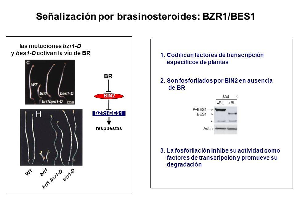 Señalización por brasinosteroides: BZR1/BES1 las mutaciones bzr1-D y bes1-D activan la vía de BR 2. Son fosforilados por BIN2 en ausencia de BR 3. La