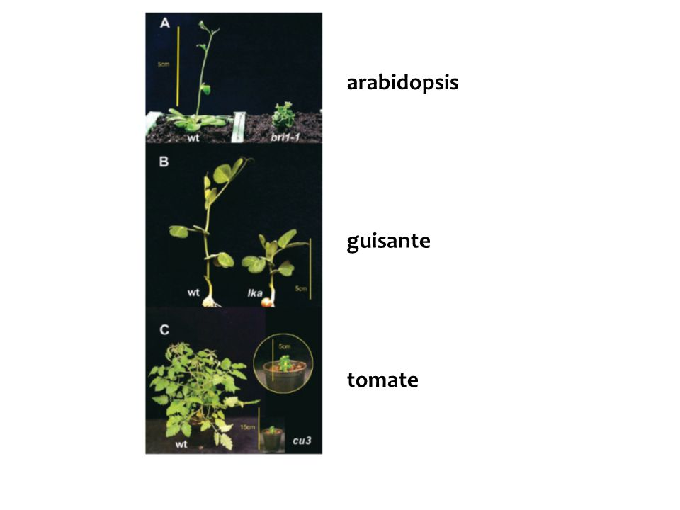 arabidopsis guisante tomate