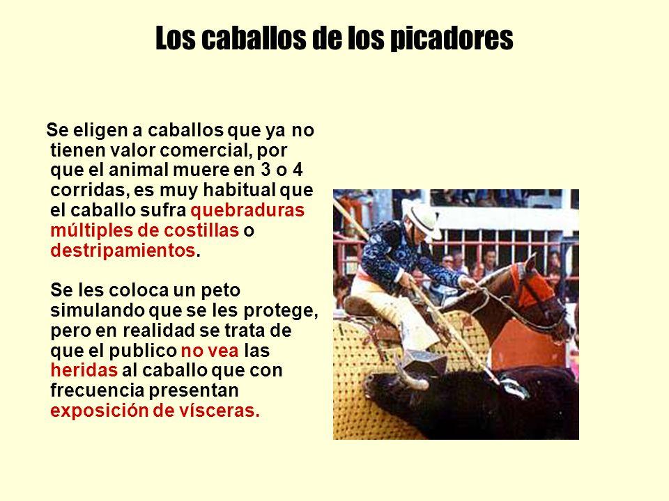 Los caballos de los picadores Se eligen a caballos que ya no tienen valor comercial, por que el animal muere en 3 o 4 corridas, es muy habitual que el caballo sufra quebraduras múltiples de costillas o destripamientos.