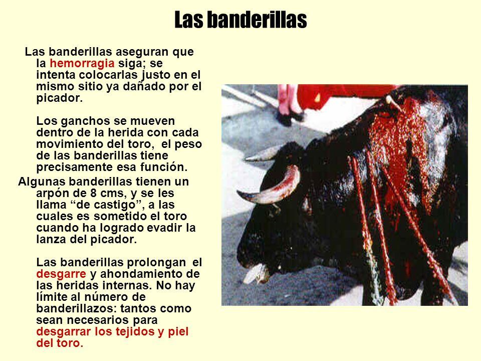 Las banderillas Las banderillas aseguran que la hemorragia siga; se intenta colocarlas justo en el mismo sitio ya dañado por el picador. Los ganchos s