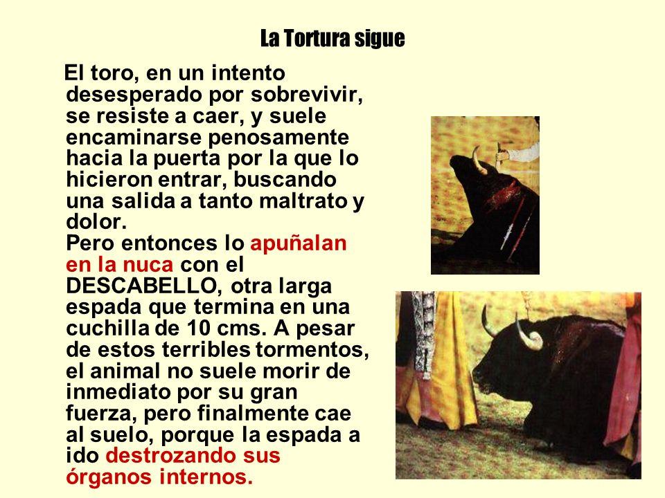 La Tortura sigue El toro, en un intento desesperado por sobrevivir, se resiste a caer, y suele encaminarse penosamente hacia la puerta por la que lo hicieron entrar, buscando una salida a tanto maltrato y dolor.