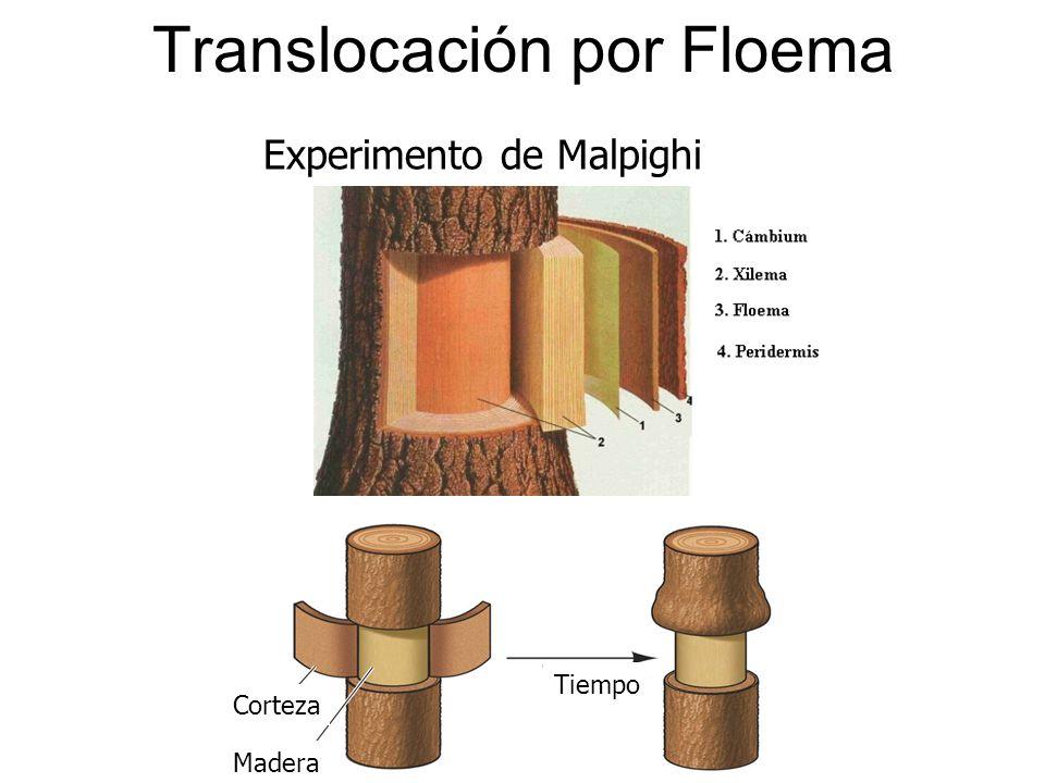 Tiempo Madera Corteza Experimento de Malpighi Translocación por Floema