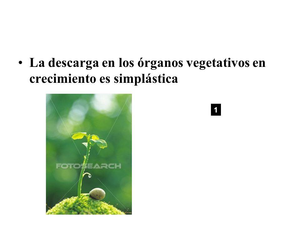 La descarga en los órganos vegetativos en crecimiento es simplástica 1