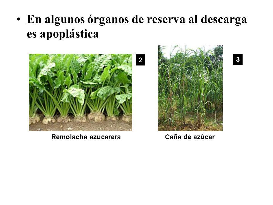 En algunos órganos de reserva al descarga es apoplástica Caña de azúcarRemolacha azucarera 2 3