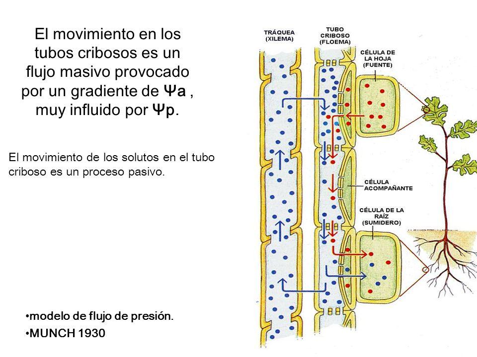El movimiento en los tubos cribosos es un flujo masivo provocado por un gradiente de Ψa, muy influido por Ψp. El movimiento de los solutos en el tubo