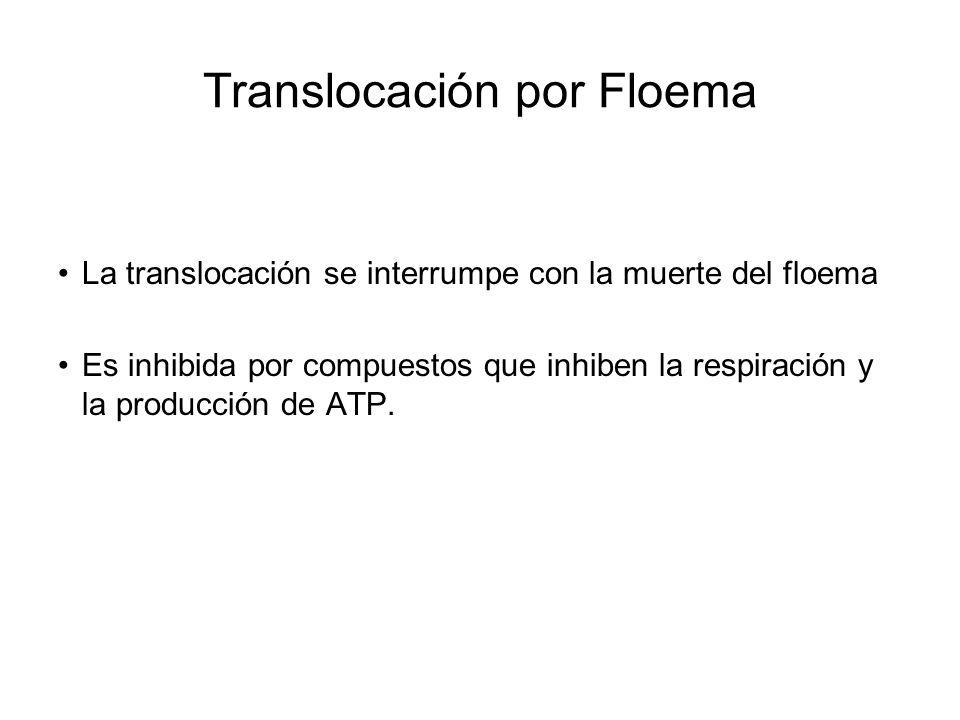 Translocación por Floema La translocación se interrumpe con la muerte del floema Es inhibida por compuestos que inhiben la respiración y la producción de ATP.