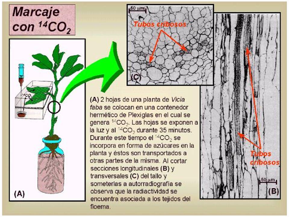 En las semillas en desarrollo la descarga es simplástica, y va seguida de una etapa apoplástica 4