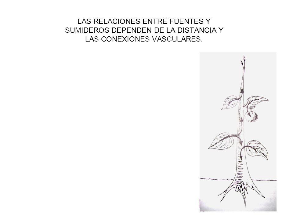COMPOSICIÓN DEL FLUIDO DEL FLOEMA AZÚCARES Sacarosa Manitol, sorbitol NITRÓGENO Aminoácidos (glutamato, aspartato) CATIONES-ANIONES K Mg P Cl OTROS Sistèmicos (herbicidas Virus o partículas virales.