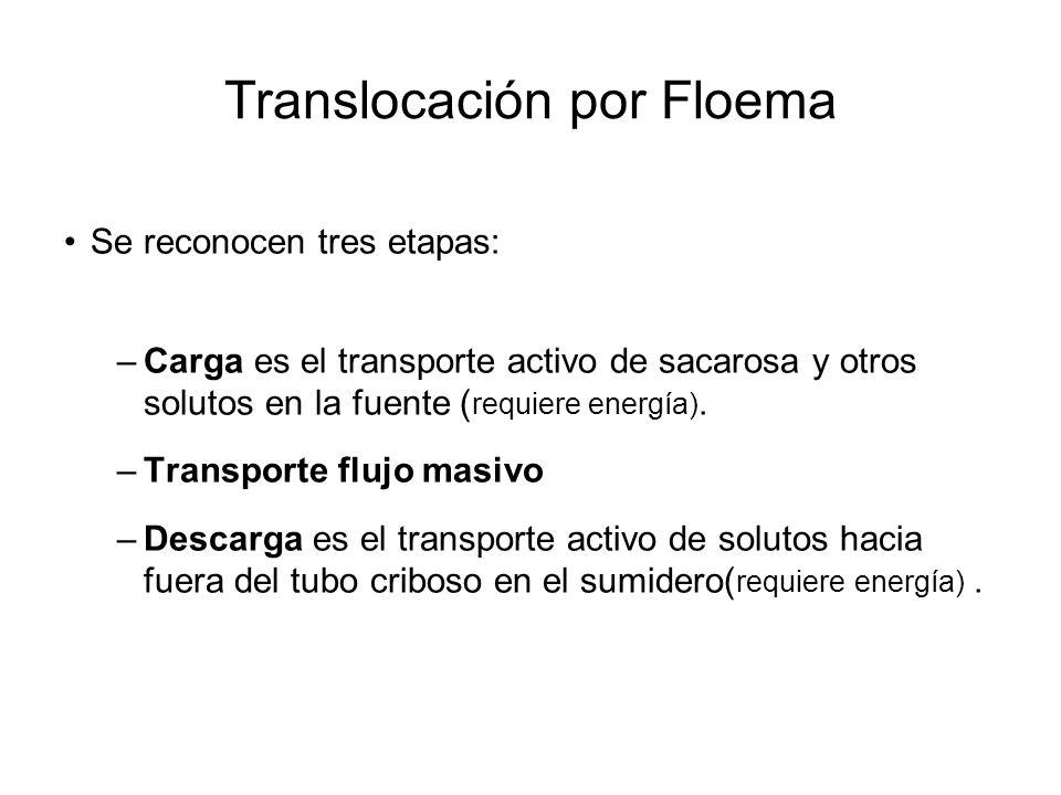 Translocación por Floema Se reconocen tres etapas: –Carga es el transporte activo de sacarosa y otros solutos en la fuente ( requiere energía). –Trans