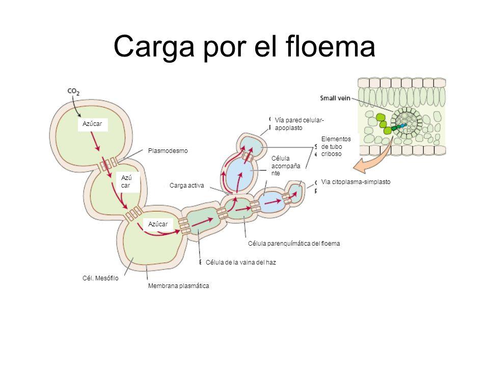Carga por el floema Membrana plasmática Célula de la vaina del haz Célula parenquímática del floema Célula acompaña nte Via citoplasma-simplasto Elementos de tubo criboso Vía pared celular- apoplasto Carga activa Cél.
