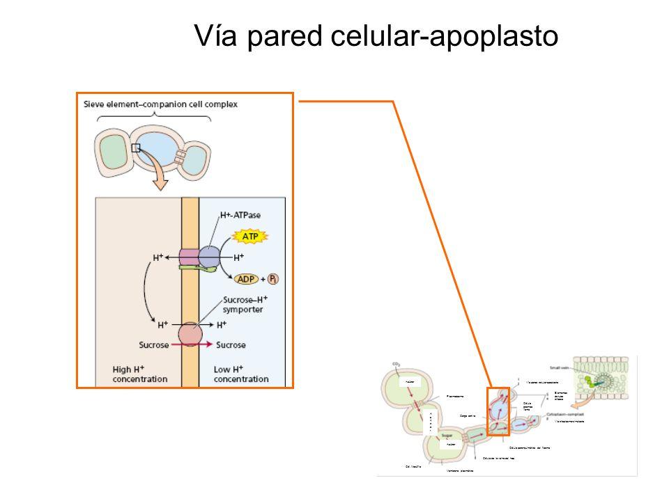 Membrana plasmática Célula de la vaina del haz Célula parenquímática del floema Célula acompa ñante Via citoplasma-simplasto Elementos de tubo criboso