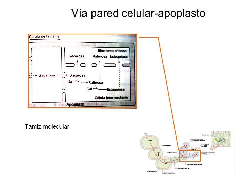 Membrana plasmática Célula de la vaina del haz Célula parenquímática del floema Célula acompa ñante Via citoplasma-simplasto Elementos de tubo criboso Vía pared celular-apoplasto Carga activa Cél.