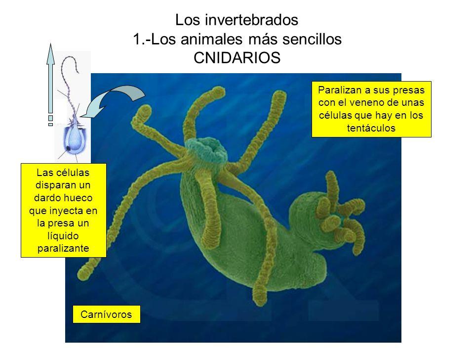 Los invertebrados 1.-Los animales más sencillos CNIDARIOS Carnívoros Paralizan a sus presas con el veneno de unas células que hay en los tentáculos Las células disparan un dardo hueco que inyecta en la presa un líquido paralizante