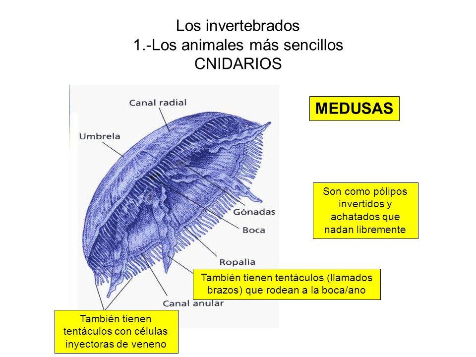 Los invertebrados 1.-Los animales más sencillos CNIDARIOS MEDUSAS Son como pólipos invertidos y achatados que nadan libremente También tienen tentáculos con células inyectoras de veneno También tienen tentáculos (llamados brazos) que rodean a la boca/ano