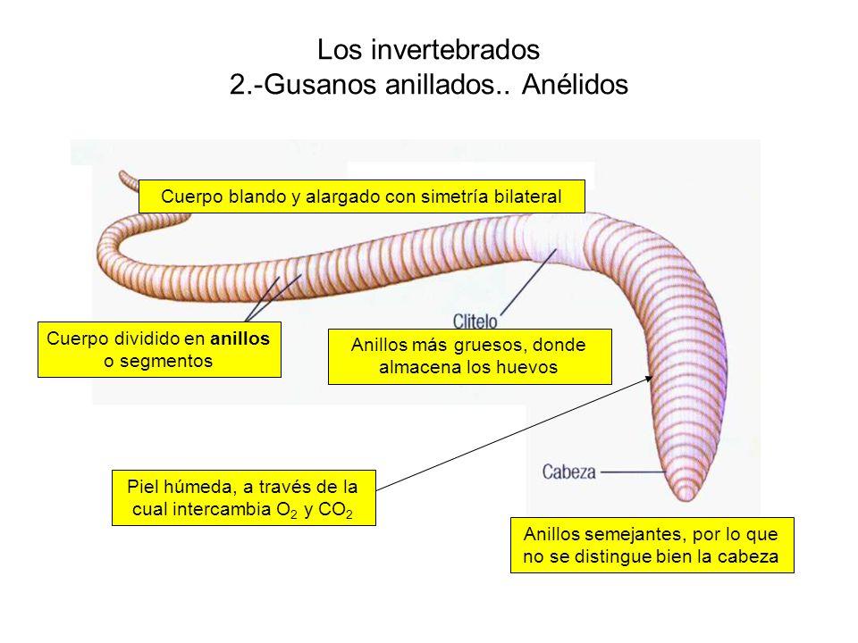 Los invertebrados 2.-Gusanos anillados.. Anélidos Anillos más gruesos, donde almacena los huevos Anillos semejantes, por lo que no se distingue bien l