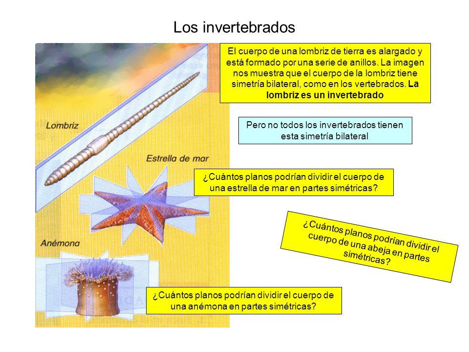 Los invertebrados El cuerpo de una lombriz de tierra es alargado y está formado por una serie de anillos. La imagen nos muestra que el cuerpo de la lo