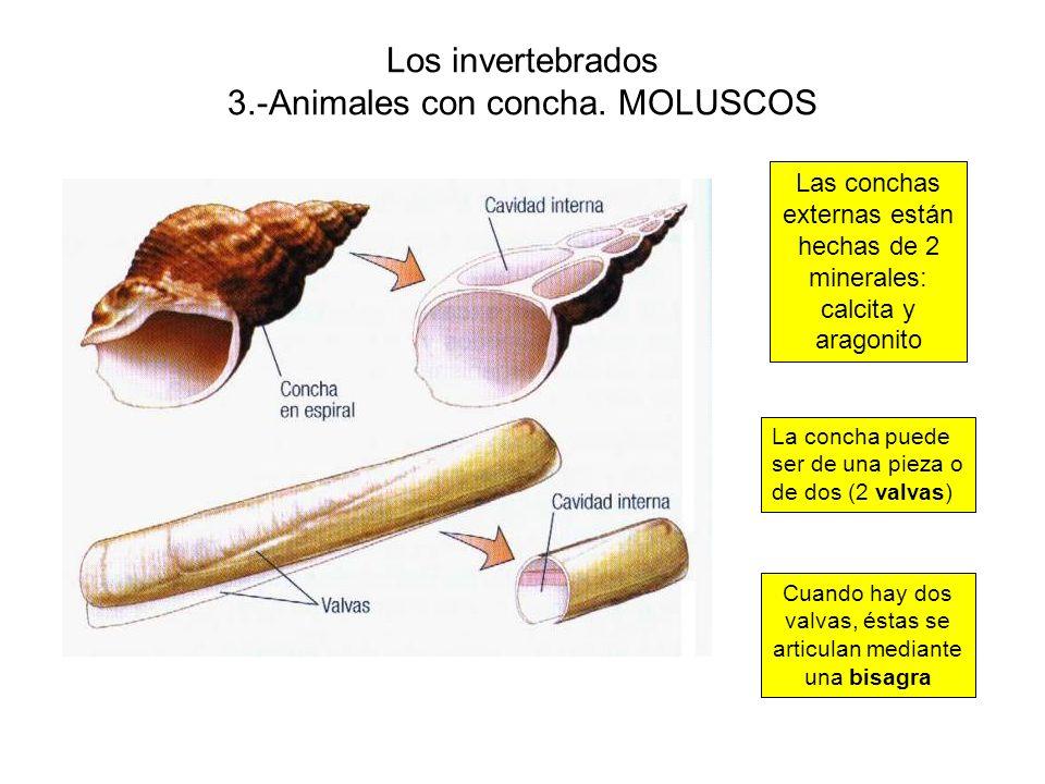 Los invertebrados 3.-Animales con concha. MOLUSCOS Las conchas externas están hechas de 2 minerales: calcita y aragonito La concha puede ser de una pi