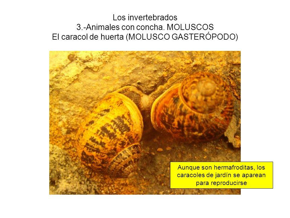Los invertebrados 3.-Animales con concha. MOLUSCOS El caracol de huerta (MOLUSCO GASTERÓPODO) Aunque son hermafroditas, los caracoles de jardín se apa