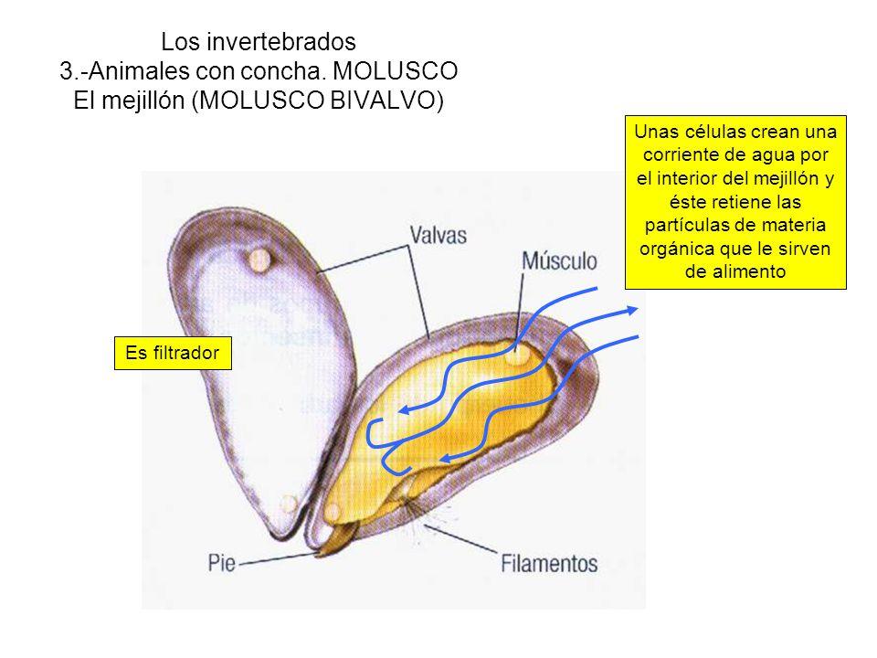 Los invertebrados 3.-Animales con concha. MOLUSCO El mejillón (MOLUSCO BIVALVO) Es filtrador Unas células crean una corriente de agua por el interior