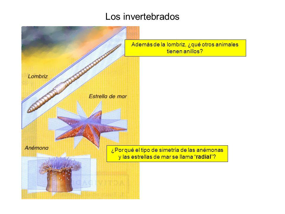 Los invertebrados ¿Por qué el tipo de simetría de las anémonas y las estrellas de mar se llama radial? Además de la lombriz, ¿qué otros animales tiene