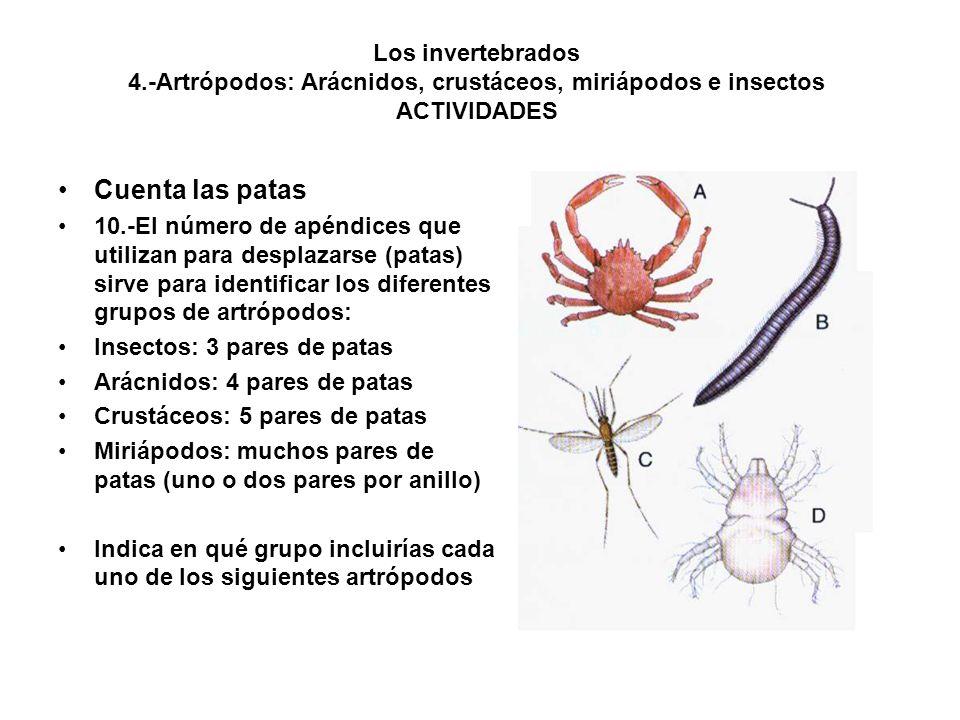 Los invertebrados 4.-Artrópodos: Arácnidos, crustáceos, miriápodos e insectos ACTIVIDADES Cuenta las patas 10.-El número de apéndices que utilizan para desplazarse (patas) sirve para identificar los diferentes grupos de artrópodos: Insectos: 3 pares de patas Arácnidos: 4 pares de patas Crustáceos: 5 pares de patas Miriápodos: muchos pares de patas (uno o dos pares por anillo) Indica en qué grupo incluirías cada uno de los siguientes artrópodos